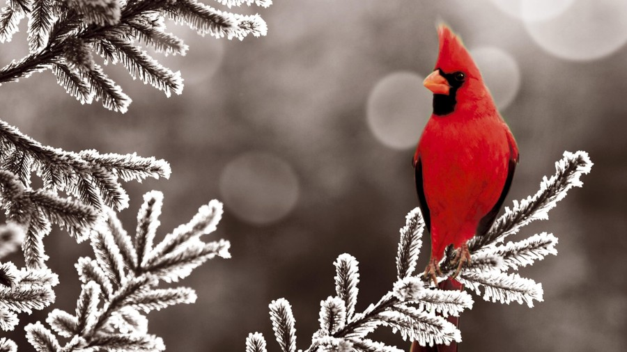 northern-cardinal-winter.jpg